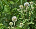 Ježibaba guľatohlavá je liečivá bylinka, z ktorej sa robí tinktúra…