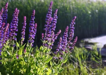 šalvia lekárska - kvitnúca rastlina