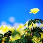 Žlté kvety kotvičníka proti modrej oblohe