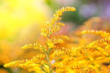 žlté kvety zlatobyľa