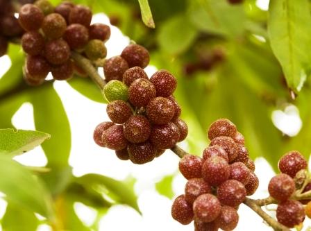 BUFFALOBERIE - dozrievajuce ovocie