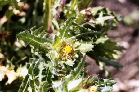 Benedikt kvet