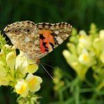 Farebný motýľ na kvete pysteka