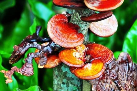 Ganoderma lucidum je liečivá rastlina