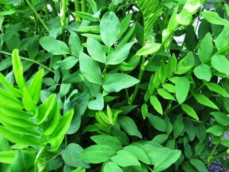 JASTRABINA lekarska-zelene listy