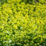 alchimilka kvety