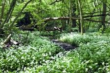 medvedi cesnak v lese