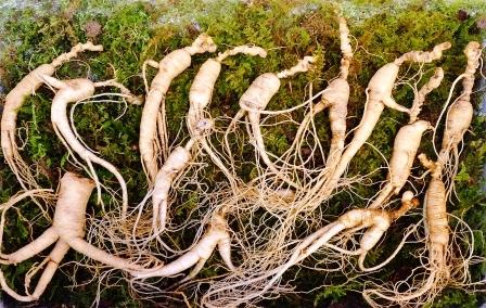 Koren korenoveho zensenu