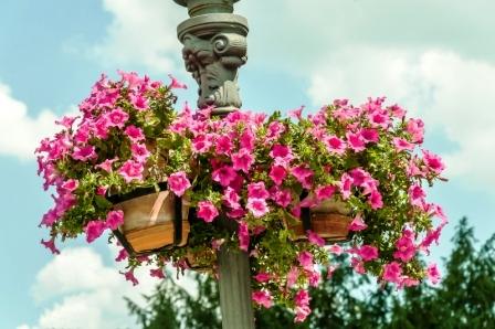 Krásne fialové kvety v kvetináči na ulici