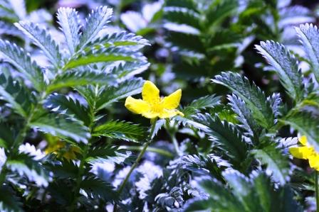 Kvety a listy natrznika husieho