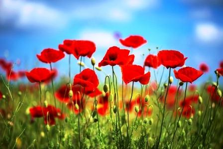 Kvety cervene vlcie maky