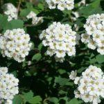 kvitnúce kvety túžobníka