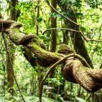 Liana v dazdovom pralese
