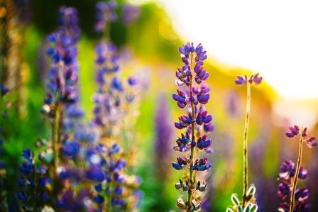 Lupina - kvet na slnečnej lúke