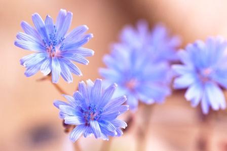 Modré kvety čakanky na jemnom pozadí