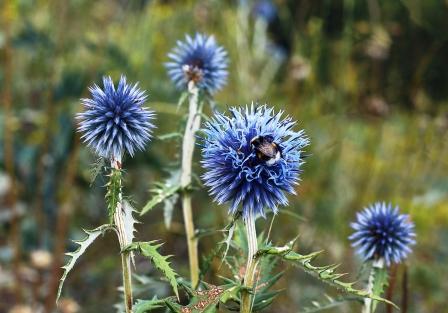 Modré kvety Echinops sphaerocephalus - ježibaba