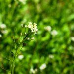 PASTIERSKA KAPSICKA - kvety