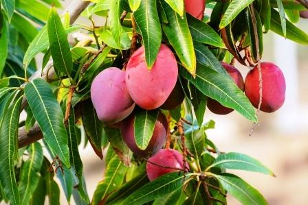 Tropicky mango strom s velkym plodomi