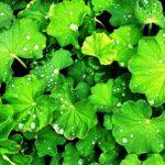 alchemilka zelene listy