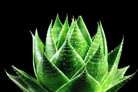 aloe vera rastlina