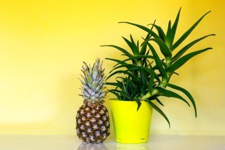 ananás v kvetináči pestovanie
