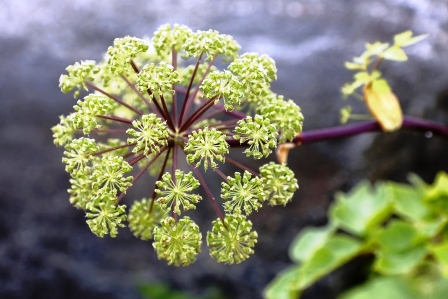 archangelika cinska kvet