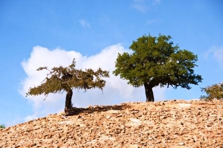 argánové stromy