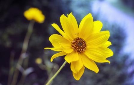 arnika kvet
