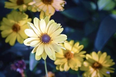 arnika kvety