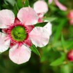 balmín metlatý kvet manuka med