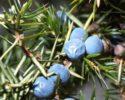 Skúste malé ale zdravé bobule – Borievka obyčajná…