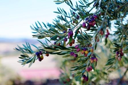 cerstve olivy na olivovniku