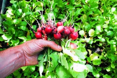cerstvo vybrate redkovky zo zahradky