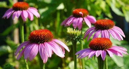 echinacea rastliny