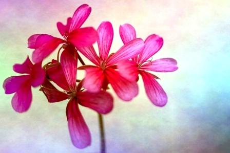 fialový muškátový kvet