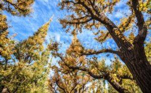 ginko biloba strom v japonsku