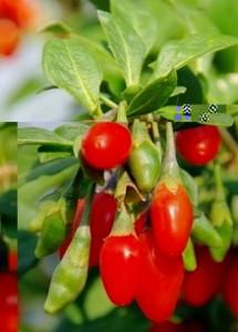 goji rastlina a bobule