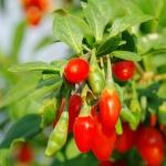 goji - rastlina a plody
