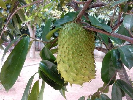 graviola zrelé, plne pestované visiace z vetvy stromu s listami