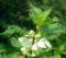 Hluchavka biela – spoznajte jej účinky, recept na čaj a čo obsahuje???