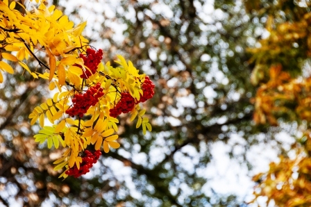jasen - jesenne listie a plody
