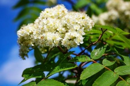 jasen kvety