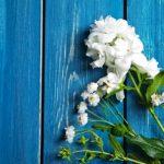 jazmínový kvet rastlina