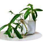 kalisia lieciva rastlina