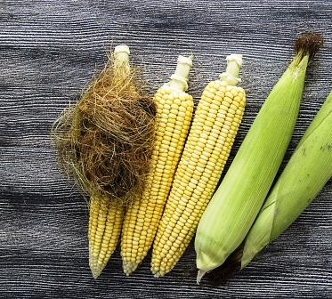 klasy kukurice