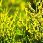 komonica lekarska bylina
