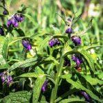 kostihoj lekarsky - kvet