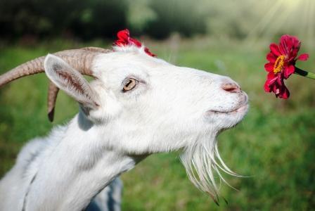 koza s kvetinou, kozie mlieko