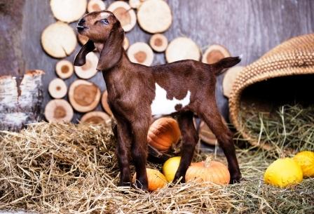 koza v stajni