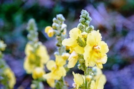 kvet divozelu